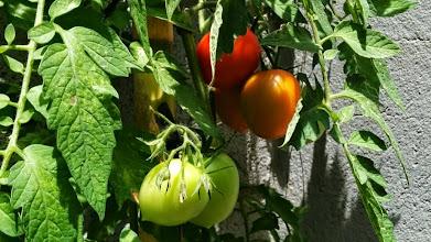 Photo: Tomate - Tomaca