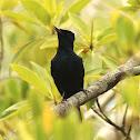 Shining Flycatcher (Male)