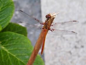 """Photo: Bonjour,  22°5 - pluie fine.  Cette année beaucoup de libellules sont parasitées par """"arrenurus papillator"""" (hydracarien) dans mon jardin, mais cela n'a pas de conséquence majeure sur leur vie. Ici """"Sympetrum meridionale"""". 08.08 - 19 h -"""