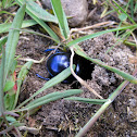 Earth-boring dung beetle