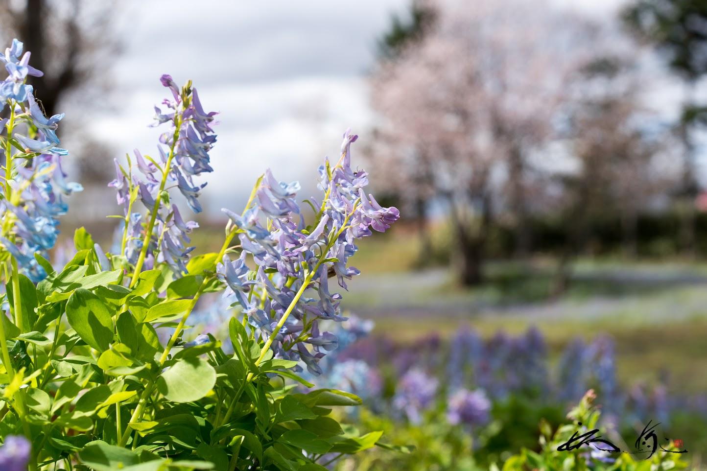 もののあわれを想い、桜を見つめる可憐な春の妖精たち