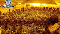 La Policía Nacional desmantela una plantación de marihuana.