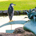 Black-Crowned Night-Heron/ 'Auku'u