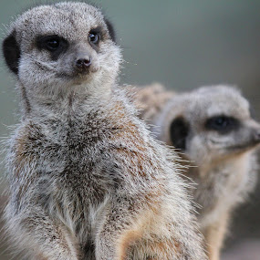 The Meerkats by Michael Topley - Animals Other ( two, zoo, meerkats, meerkat, animal )