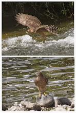 Photo: 撮影者:若狭 誠 オオタカ タイトル:オオタカ幼鳥 観察年月日:2014/8/5 羽数:1羽 場所:浅川・暁橋上流 区分:猛禽 メッシュ:八王子7K コメント:オオタカの幼鳥が川岸の石の上に止まっていた。しばらくして3羽のハシボソガラスが接近したためか中洲に移動し、浅瀬に入ったり飛び上がったりしていた。