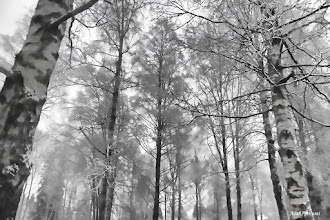 Photo: Norwegian wood I went for a walk in the forest... Trees and snow, black and white.  #TreeTuesday