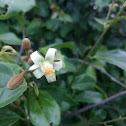 Grewia carpinifolia
