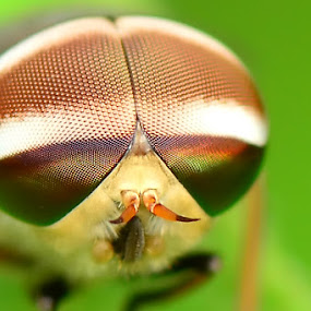 Coffe Late Eye by Stevie Go - Animals Insects & Spiders ( macro, brown, insects, eye,  )