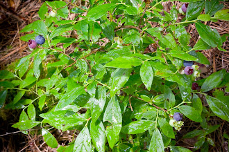 Photo: Maine blueberries
