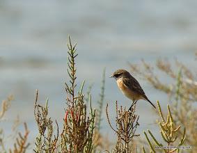 Photo: European Stonechat (Saltimpalo), Vendicari Wetlands, south of Avola