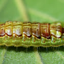 Common Oakblue Butterfly Caterpillar
