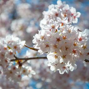 Cherry Blossom by Dave Reece - Nature Up Close Flowers - 2011-2013 ( cherry, toronto, sakura, high park, spring, blossom )