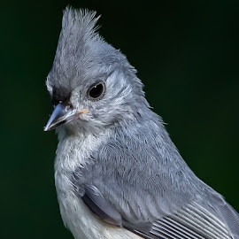 Tufted Titmouse by Don Young - Animals Birds ( close up, nature, bird, tufted titmouse, portrait,  )
