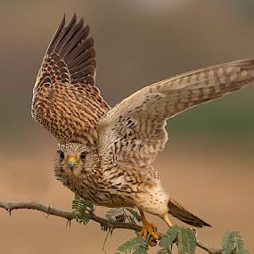 kestrel by Jineesh Mallishery - Animals Birds ( wildlife, jineesh, kestrel.bird )