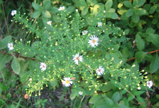 Photo: Small White Aster 8.23
