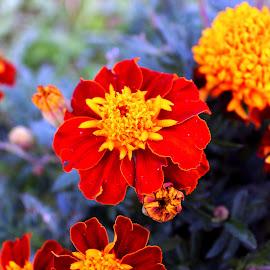 Flowers by Alexandru Lupulescu - Flowers Flower Gardens (  )