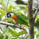 Orange-breasted Fig Parrot