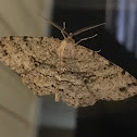 Porcelian Gray Moth