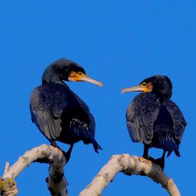 two cormorants3 by Fred Goldstein - Uncategorized All Uncategorized ( two, sky, tree, cormorants, birds,  )
