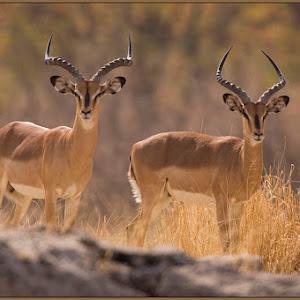 4-jan harm louw-impalas.jpg