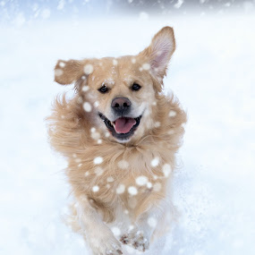 Playful by Валентин Найденов - Animals - Dogs Playing ( playing, goran, snow, play, горан, dog )