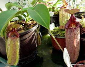 Photo: Nepenthes talangensis x truncata