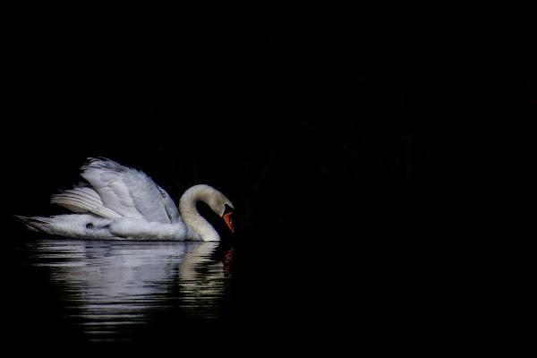Swan di Nefti-Monica