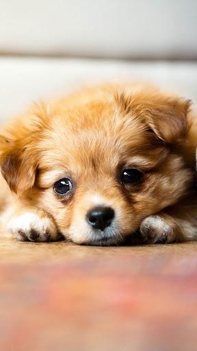 Puppies Live Wallpaper ? Cute Puppy Pictures 2.5 screenshots 2
