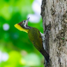    Lesser Yellownape    by Indra Maji - Animals Birds
