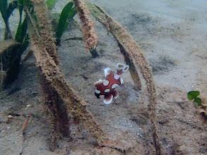 Photo: Plectorhinchus chaetodonoides (Juvenile Harlaquin or Clown Sweetlips), Chindonan Island, Palawan, Philippines.