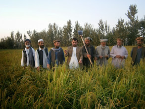 Photo: Farmers observing SRI plants at Taleqan in Takhar, Afghanistan. [Photo Courtesy of Ai Muhammad Ramzi, 2013]