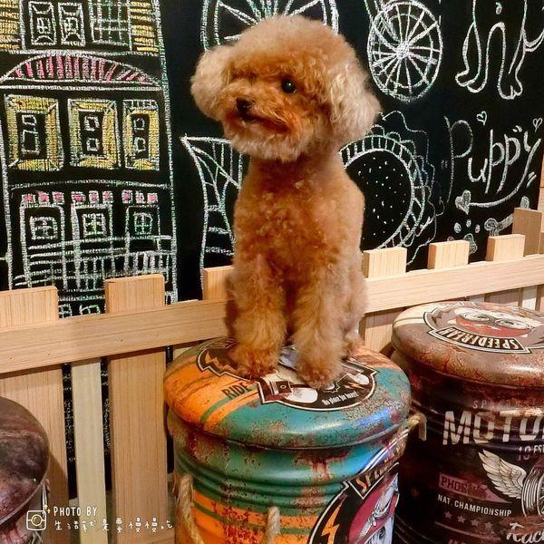 DogBoss 寵物友善餐廳 中和寵物餐廳.五隻可愛貴賓狗駐店