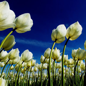 Tulips by John Phielix - Flowers Flowers in the Wild (  )