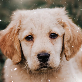 snow by Krisztina Fejér - Animals - Dogs Puppies ( love, retriever, puppy, dog, cute, dog portrait,  )