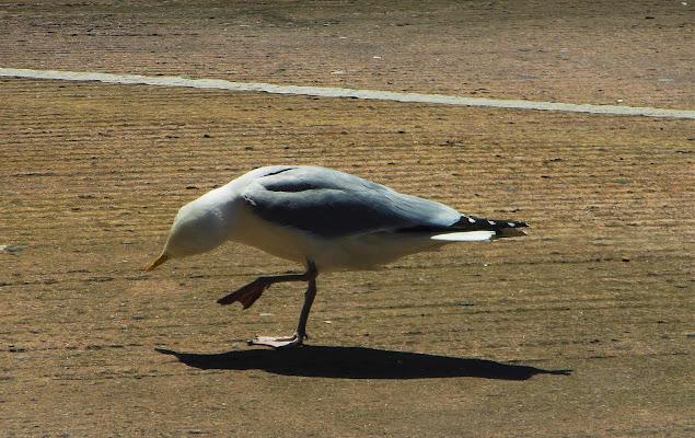 Little seagull di MarinaF