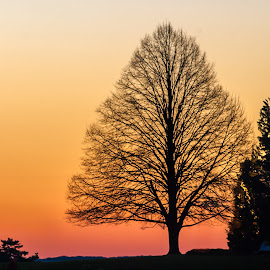 Duxbury Tree at Dawn by Carl Albro - Nature Up Close Trees & Bushes ( dawn, tree, silhoutte, no leaves )