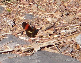 Photo: Heliconian butterfly, San Blas