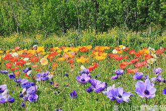 Photo: 拍攝地點: 梅峰-一平台 拍攝植物: (由上至下)白楊 油菜花 冰島虞美人 白頭翁 拍攝日期: 2014_04_16_FY