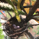Nest- Red vented bulbul