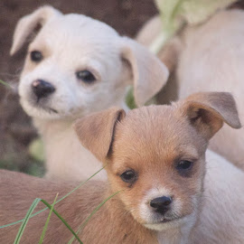So Sweet by Savannah Eubanks - Animals - Dogs Puppies ( small dog, dogs, portrait, sweet, puppies, cute, two )