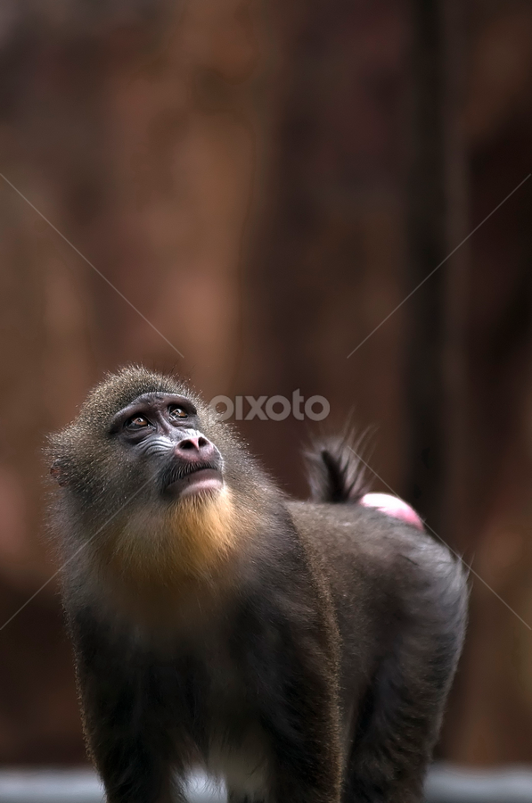 by Lim Darmawan - Animals Other Mammals ( animal, monkey )