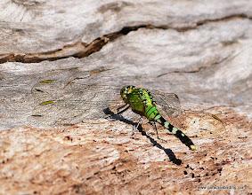 Photo: Brazos Bend dragonfly