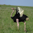 Ostrich mating behavior