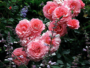 Photo: large spray of pink 'Tournament of Roses' roses