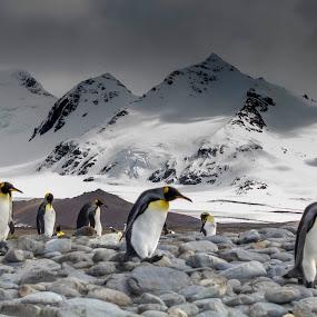 Kings by Mark Molinari - Animals Amphibians ( #nature #penguins #wildlife,  )