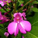Barbie Flower, Indian Balsam