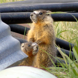MARMOTS by Cynthia Dodd - Novices Only Wildlife ( nature, marmots, animals, babies, cute )