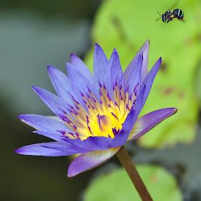 Honey Hunting by Muhammad Fairuz Samsubaha - Nature Up Close Flowers - 2011-2013 ( bee, anat, flower, photography, honey )