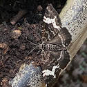 Spear marked black moth