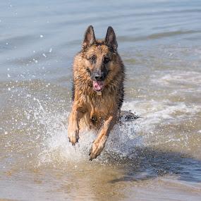 German Shepherd Running by Dawn Cotterell - Animals - Dogs Portraits ( splashing, action, sea, german shepherd, dog, running )
